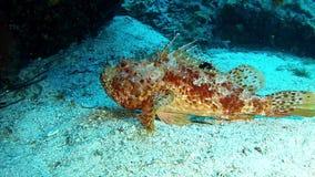 Salto Maldivas - pescados de escorpión metrajes
