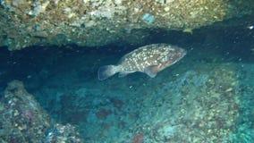 Salto Maldivas - pescados del mero almacen de metraje de vídeo