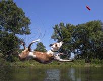 Salto mezclado del perro de la raza en una charca Fotos de archivo