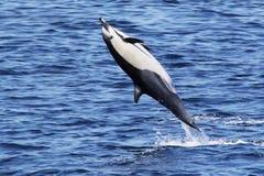 Salto mortal hacia atrás salvaje de los delfínes Fotografía de archivo libre de regalías