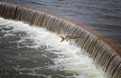 Salto muschiato della diga di Wingra Immagine Stock