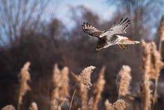 Salto Rojo-Atado del halcón en presa Imágenes de archivo libres de regalías