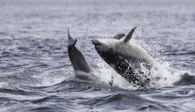 Salto rompendo o truncatus selvagem do tursiops do golfinho de bottlenose imagem de stock