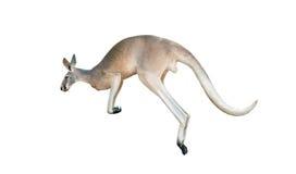 Salto rosso del canguro Fotografie Stock Libere da Diritti