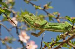 Salto verde del camaleón Foto de archivo libre de regalías