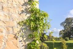 Salto verde en una pared de piedra Fotos de archivo libres de regalías