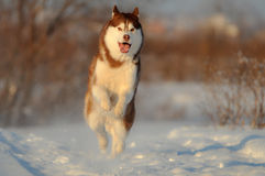 Salto vermelho do cão do cão de puxar trenós siberian Fotografia de Stock
