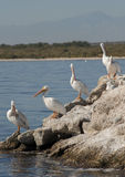 Salton sea white pelicans Stock Image