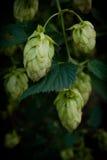 Saltos, cerveza fotos de archivo