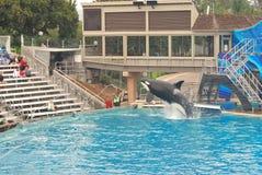 Saltos de la ballena de asesino para arriba en Seaworld Foto de archivo libre de regalías
