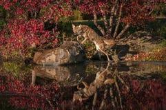Saltos de los latrans del Canis del coyote para arriba en roca Foto de archivo libre de regalías