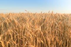 Saltos do trigo sob o céu Foto de Stock