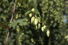 Saltos usados en la cerveza que hace lista para cosechar Fotografía de archivo libre de regalías