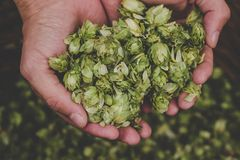 Saltos verdes para la cerveza Hombre que sostiene los conos de salto verdes Imagen de archivo libre de regalías