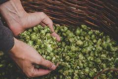 Saltos verdes para la cerveza Hombre que sostiene los conos de salto verdes Fotos de archivo libres de regalías
