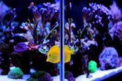 Saltvattens- akvarium, plats för behållare för korallrev hemma Royaltyfri Fotografi