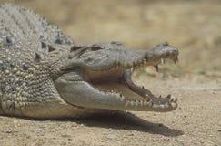 Saltvattens- krokodil, Crocodylusporosus Arkivfoto