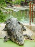 Saltvattens- krokodil i dammet Arkivfoto