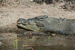 Saltvattens- krokodil på banken Fotografering för Bildbyråer