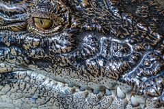 Saltvattens- krokodil, slut upp av ett öga och tänder Bali zoo Indonesien arkivfoto