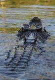 Saltvattens- krokodil som kommer till yttersidan Fotografering för Bildbyråer