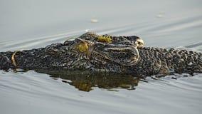 Saltvattens- krokodil, Yellow River, Australien Arkivfoton