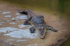 Saltvattens- Thailand för krokodil zoo Arkivbilder