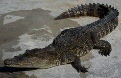 Saltvattens- Thailand för krokodil zoo Royaltyfri Bild
