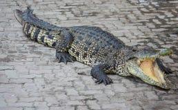 Saltvattens- Thailand för krokodil zoo Arkivfoton