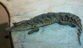 Saltvattens- Thailand för krokodil zoo Fotografering för Bildbyråer
