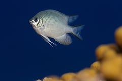 Saltvattens- Ung ogift kvinna-fisk Röda havet Arkivbilder
