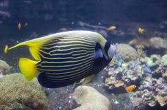 Saltvattensfisk i akvarium Royaltyfria Bilder