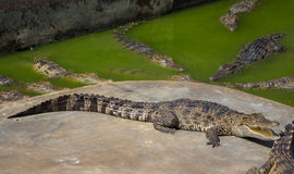 Saltwater κροκοδείλων ζωολογικός κήπος της Ταϊλάνδης Στοκ εικόνες με δικαίωμα ελεύθερης χρήσης