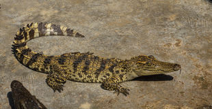 Saltwater κροκοδείλων ζωολογικός κήπος της Ταϊλάνδης Στοκ εικόνα με δικαίωμα ελεύθερης χρήσης