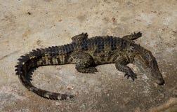 Saltwater κροκοδείλων ζωολογικός κήπος της Ταϊλάνδης Στοκ φωτογραφίες με δικαίωμα ελεύθερης χρήσης