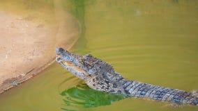 Saltwater κροκοδείλων ζωολογικός κήπος της Ταϊλάνδης Στοκ Εικόνες