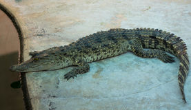 Saltwater κροκοδείλων ζωολογικός κήπος της Ταϊλάνδης Στοκ Εικόνα