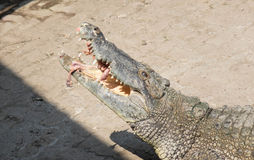 Saltwater κροκοδείλων που τροφοδοτεί την Ταϊλάνδη Στοκ εικόνα με δικαίωμα ελεύθερης χρήσης