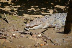 Saltwater κροκόδειλος στην όχθη ποταμού στοκ εικόνες με δικαίωμα ελεύθερης χρήσης