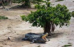 Saltwater κροκόδειλος στην Ταϊλάνδη Στοκ Φωτογραφίες