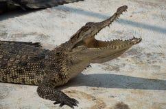 Saltwater Ταϊλάνδη κροκοδείλων Μισθώσεις Στοκ Φωτογραφία