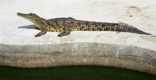 Saltwater Ταϊλάνδη κροκοδείλων Στοκ φωτογραφίες με δικαίωμα ελεύθερης χρήσης