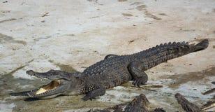 Saltwater Ταϊλάνδη κροκοδείλων Στοκ εικόνα με δικαίωμα ελεύθερης χρήσης