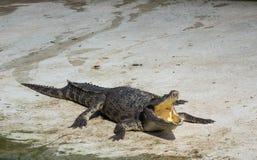 Saltwater Ταϊλάνδη κροκοδείλων Στοκ εικόνες με δικαίωμα ελεύθερης χρήσης