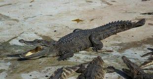 Saltwater Ταϊλάνδη κροκοδείλων Στοκ Φωτογραφίες