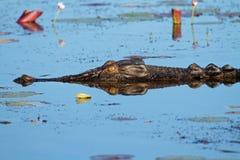 Saltwater κροκόδειλος Στοκ Εικόνα