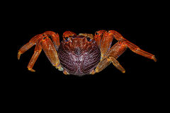 Saltwater crab. Seen from above, scientific name adsensionis grapsus Stock Photography