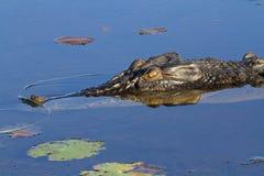 Saltwater crocodile. Large saltwater crocodile, Yellow water billabong, Kakadu National Park, Northern Territory, Australia stock photos