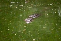 Saltwater crocodile. In a water (Crocodylus porosus Stock Image