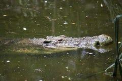 Saltwater crocodile. In a water (Crocodylus porosus Royalty Free Stock Image